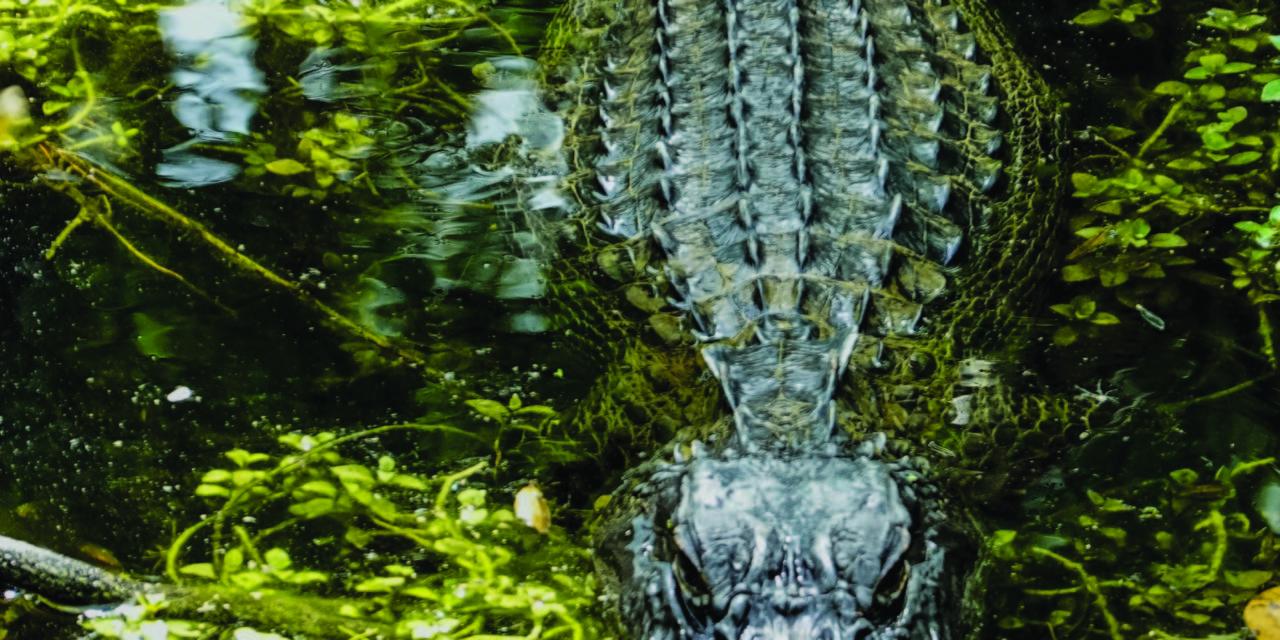 It's Alligator Season